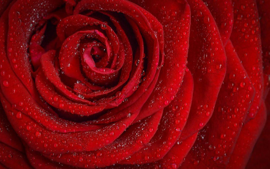 Comment conserver les roses pour toujours